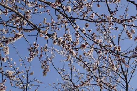 apricot tree: Flowering apricot tree branch against the sky