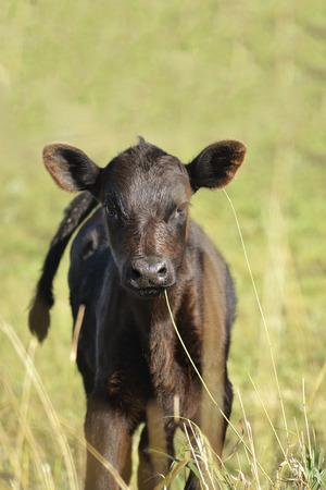 Black calf at the green field