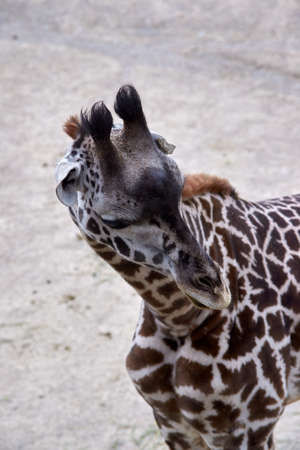 Spotted giraffe looking around enclosure for food.
