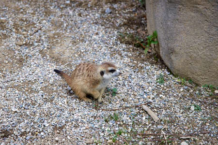 Small Meerkat sitting and looking on pile of rocks.