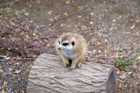 Small Meerkat sitting and looking on top of log.
