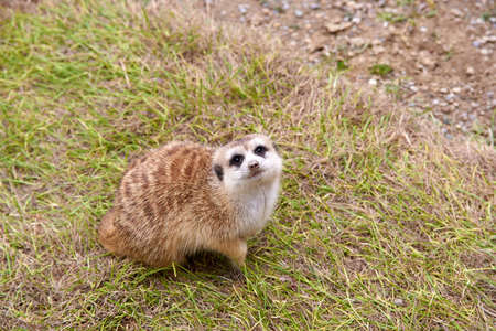 Small Meerkat sitting on grass looking up at sky.