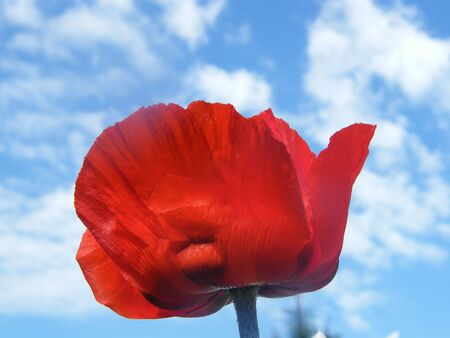 Red Poppy and Blue Sky photo