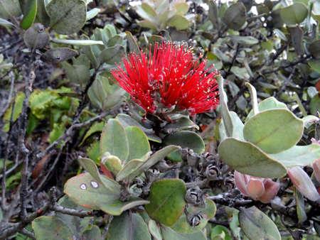 Close up picture of a beautiful Lehua Blossoms captured at Kilauea Volcano in Big Island, Hawaii