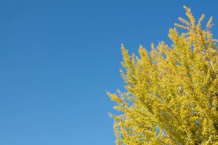 Beautiful Gingko tree with his colored yellow leaves in Japanese autumn captured on a cloudless day in Himeji