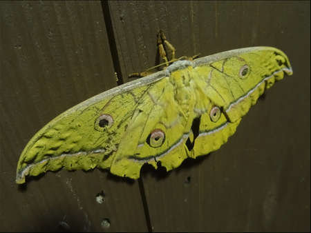A huge Japanese silk moth (Antheraea yamamai) on a wooden wall in Nakatosa area, Japan