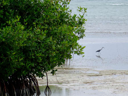 Close up picture of a Mangrove tree with a Heron standing in shallow water near Montego Bay in Jamaica