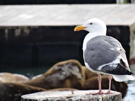 Close up picture of a Sea Gull with some sea lions in the background at the famous Pier 39 dock in San Fransisco, California