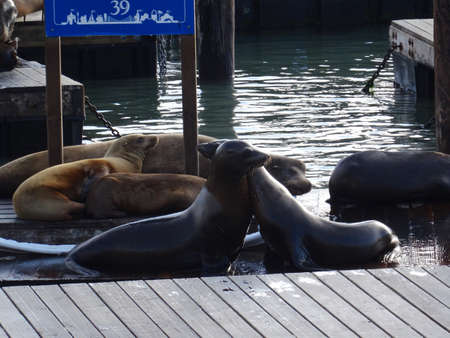 View of the famous sea lions residents of the pier 39 k-dock. The Pier 39 is one of the main tourist attraction of the city with many shops and restaurants
