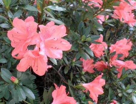 azaleas: Colorful Azaleas