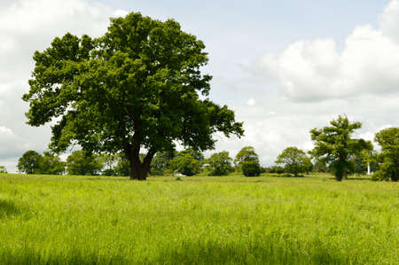 Large tree in a field with an abandoned cabin cruiser boat in the background. Imagens