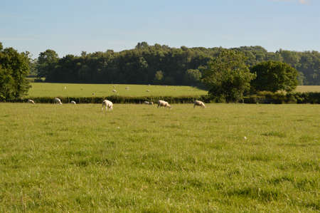 Large green field with several sheep.