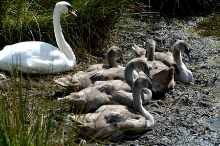 Close-up of a swan and cygnets resting on the bank of a lake.