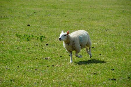 A lamb running in a field.