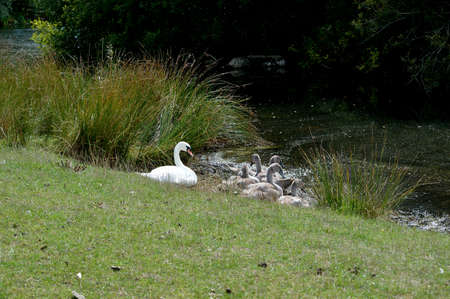 Resting swan and cygnets at the waters edge of a lake. Stock Photo