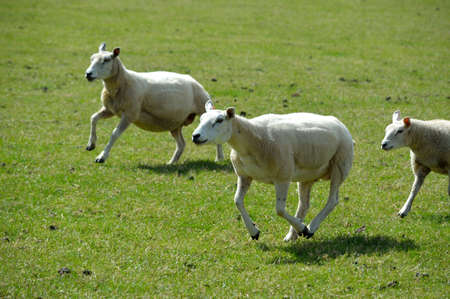 Sheep running in a field.