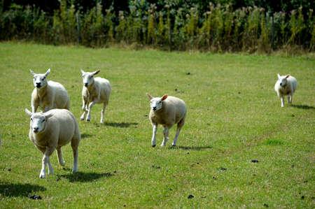 Sheep running across the field.