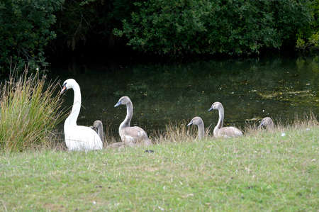Swan and cygnets at the waters edge of a lake. Stock Photo