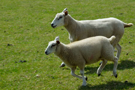Two lambs running together in a field. Imagens