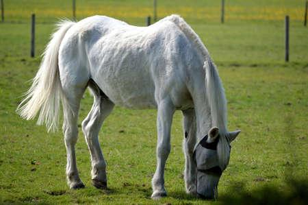 White horse grazing in a field.