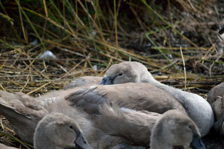 Young swan cygnet resting. Stock Photo