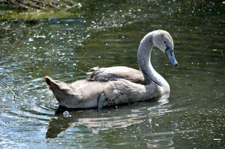 Young swan single cygnet swimming on a lake.