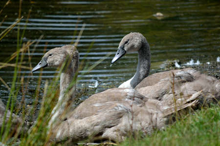 Young swans cygnets by the waters edge. Stock Photo
