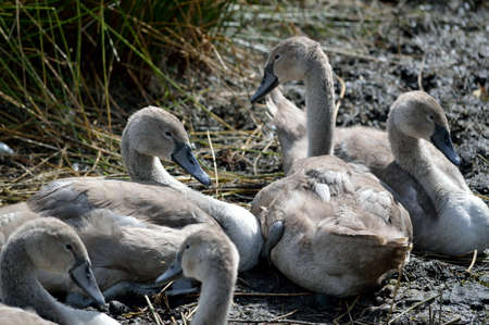 Young swans cygnets resting together. Stock Photo