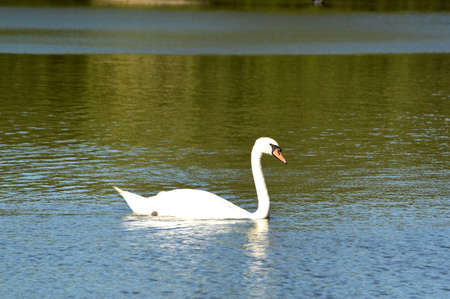 Single swan swimming on water.