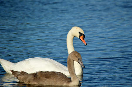 Close-up of a swan and cygnet on water. Imagens