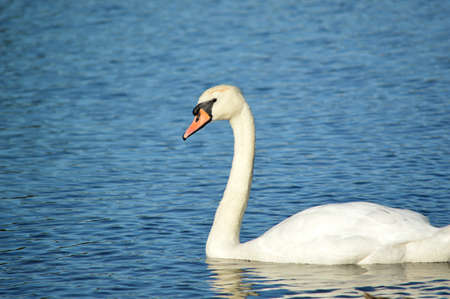 Close-up of swan swimming on a lake.