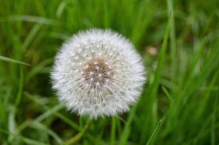 Dandelion seeds close-up.