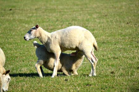 Lamb feeding from its mother in a field. Banque d'images