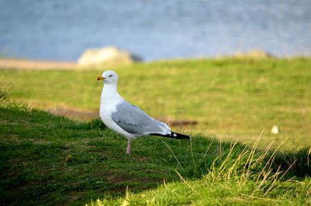 A seagull close up. Banque d'images