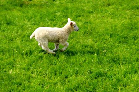 Small lamb running in a field.