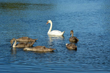Swan and cygnets swimming and feeding on a lake. Stock Photo