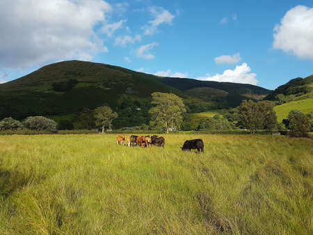 Cows in a field on a sunny day in Wales with mountains in the background.