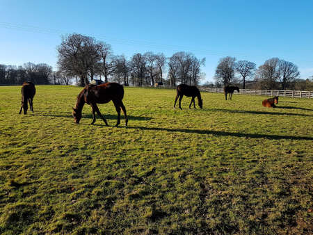 Horses grazing in a countryside field on a bright Winter's day.