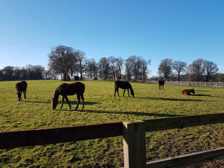 Horses in a field eating grass and resting on a bright sunny Winter's day.