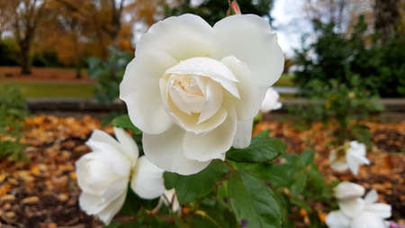 Central close-up shot of a white rose with foliage and autumn leaves.