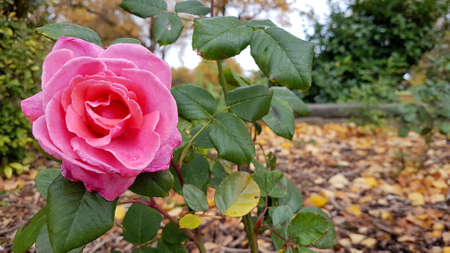 Close-up Autumn shot of a pink rose with foliage and autumn leaves.