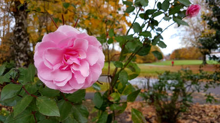 Close-up of a fully opened pink rose in Autumn with parkland background.