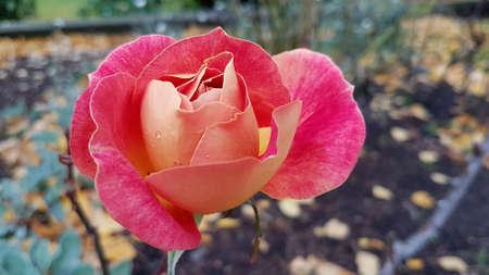 Close-up of a peach coloured rose in Autumn.