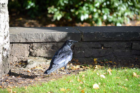 Close-up of a raven on the ground a stone wall.