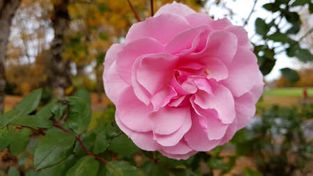 Close-up of a single pink rose in Autumn. Banque d'images