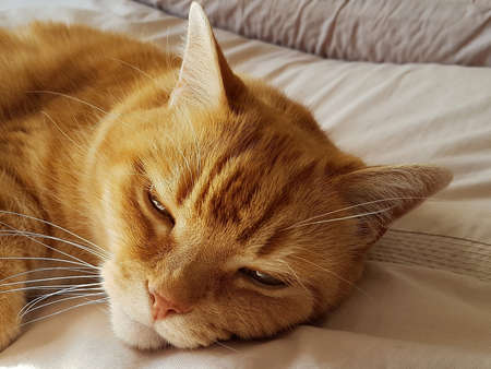 Close-up of a sleepy ginger cat lay down. Banque d'images