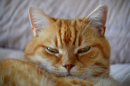 Close-up of a sleepy ginger cat. Banque d'images