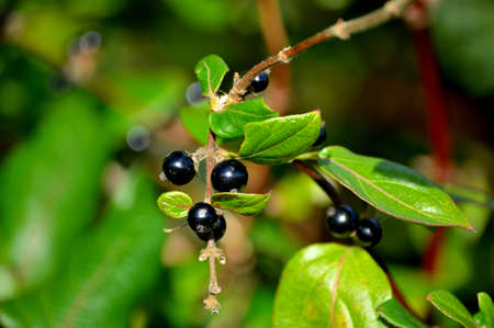 Close-up of black coloured berries on a branch against a blurred background.