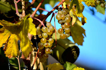 Close-up of grapes on a grapevine branch.
