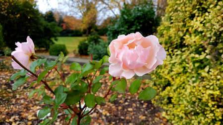 Close-up of two pink roses in Autumn with parkland in the background. Banque d'images